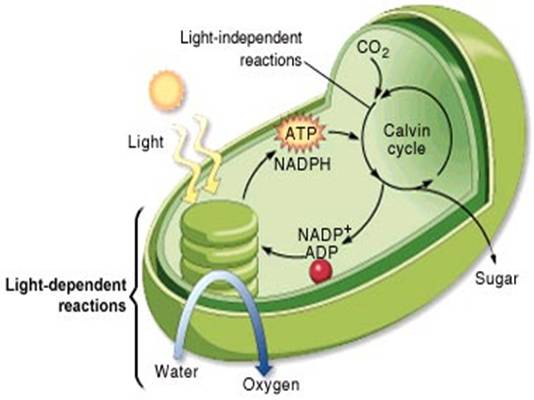 what are the steps of photosynthesis Start studying steps of photosynthesis learn vocabulary, terms, and more with flashcards, games, and other study tools.
